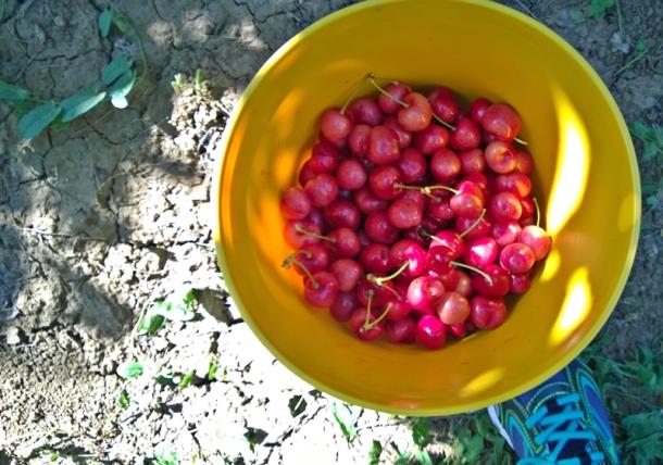 cherry picking-2