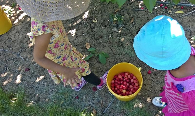 cherry picking-4
